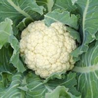 500 Seeds Cauliflower -All Year Round- Finest Seeds Easy to Grow Vegetables